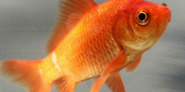 a pet goldfish