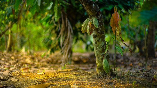 10 Surprising Chocolate Money Facts - Cacao trees offer limited yields